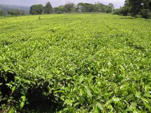 Tea plantation in Chepsir village southwestern Mau block in Kenya