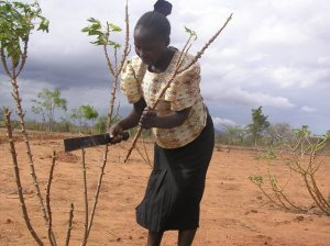 A woman in Kanzilu village in Mutomo, Eastern Kenya cuts cassava stem