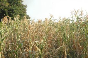 A garden of maize which has dried up due to drought