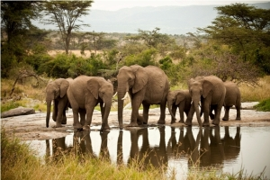 Picture of elephants  close to Kenya's Eco lodge