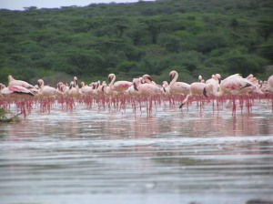 The flamingos, which are the main attraction for tourists at Lake Bogoria