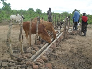 Animals at an unprotected water source in Kitgum district