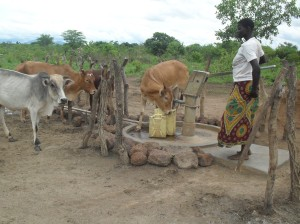 A woman draws water as animals invade the borehole in Oget village Akwang sub county in Kitgum district