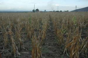Part of Mubuku prisons maize garden which has dried due to drought