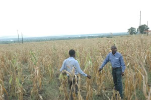 People looking at part of Mubuku prison's maize garden which has dried due to drought