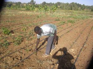 A Farmer Irrigates his Crops in Matwiku village of Laikipia County in Kenya