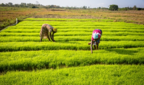 Women in Ghana engaged in dry season rice farming through irrigation