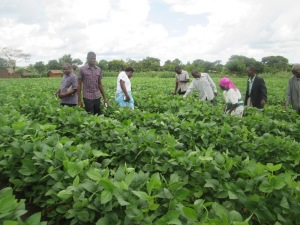 World Vision and Government Officials in One of the Soya Fields in Lilongwe district