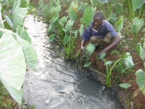 A farmer using sewage water on his farm in Nairobi,  Kenya