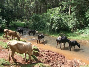 Water is an essential nutrient for all livestock. It is important for both animal welfare and business profitability